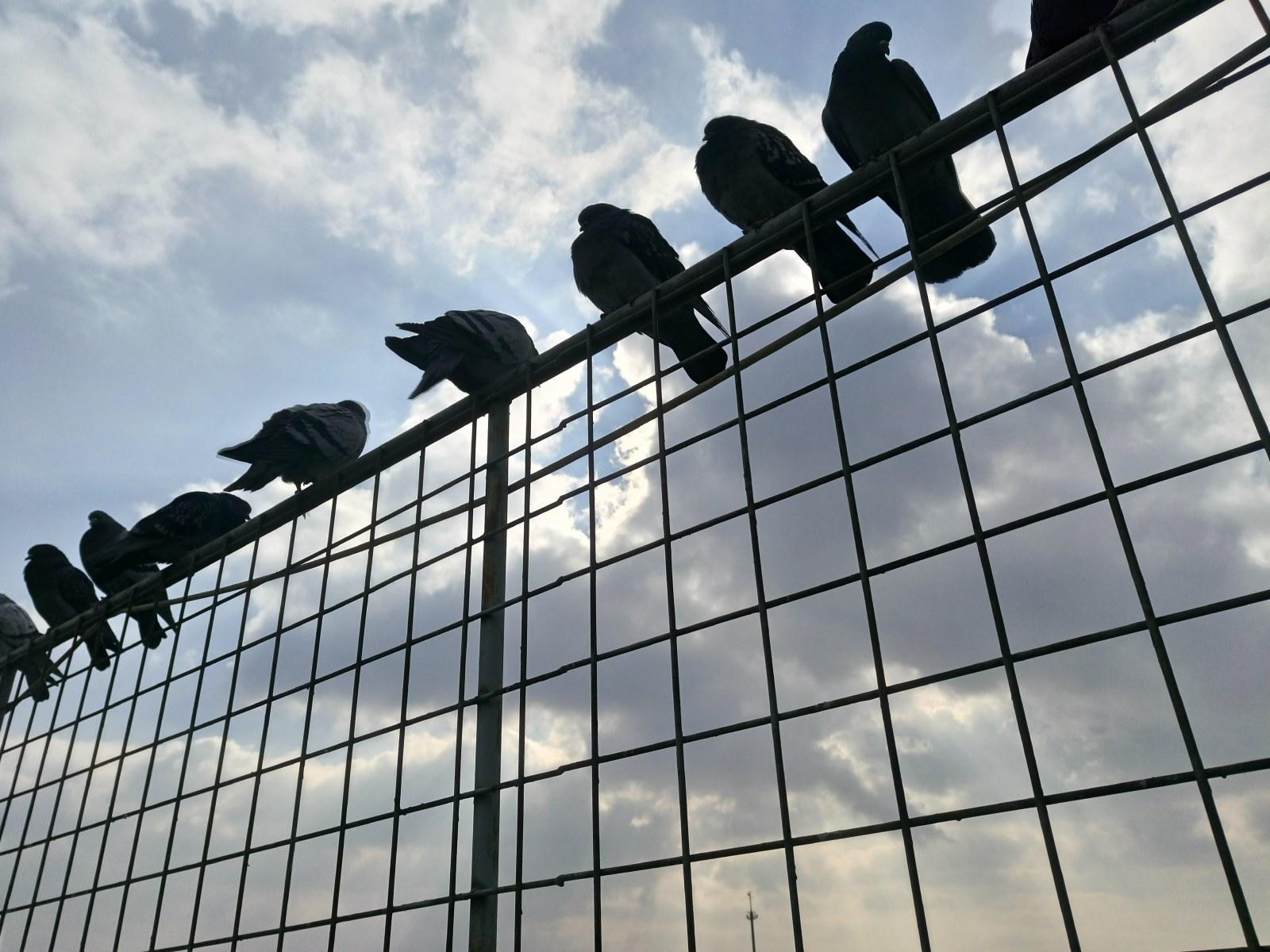 Holubi na plotě