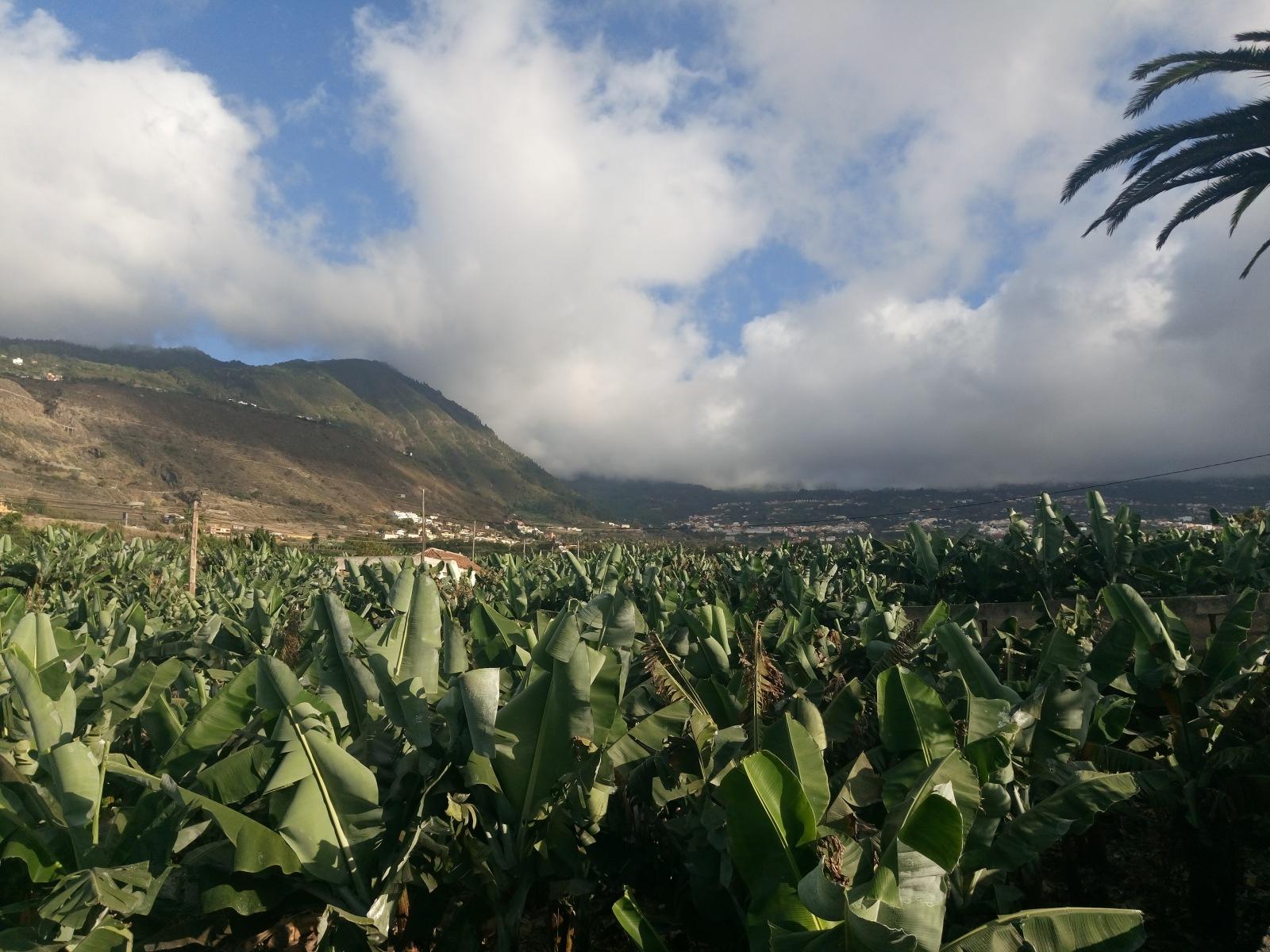 Banánová plantáž