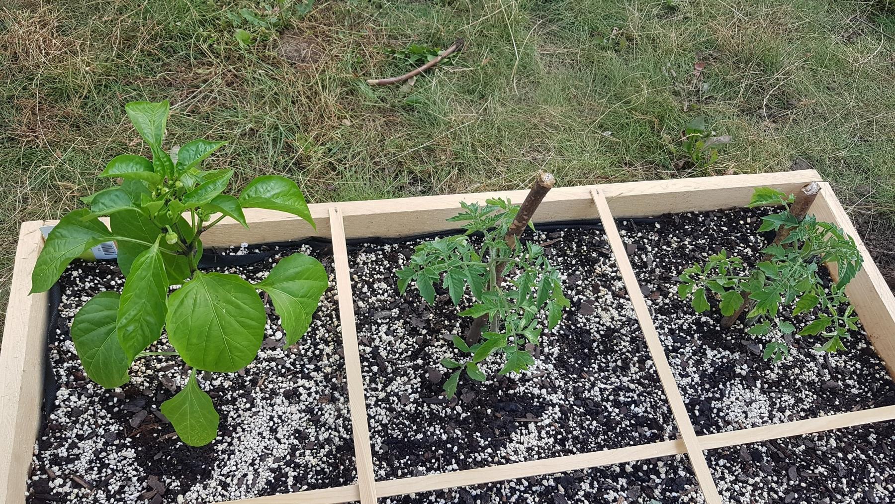 Paprika a rajčata po prvním týdnu