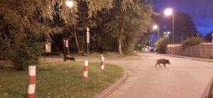 Divoká prasata ve městě