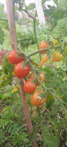 Zrající rajčata